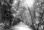 Jardin d'essai allée de Bambous
