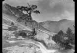 Vieil arbre sur la route du lac de Gaube